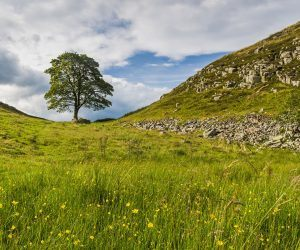 SyA view of the famous Sycamore Tree which is standing in a dip on Hadrian's Wall in Northumberland National Park.
