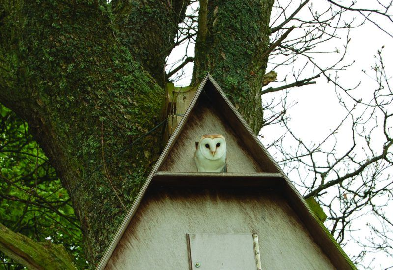 Barn Owl in Box in the National Park