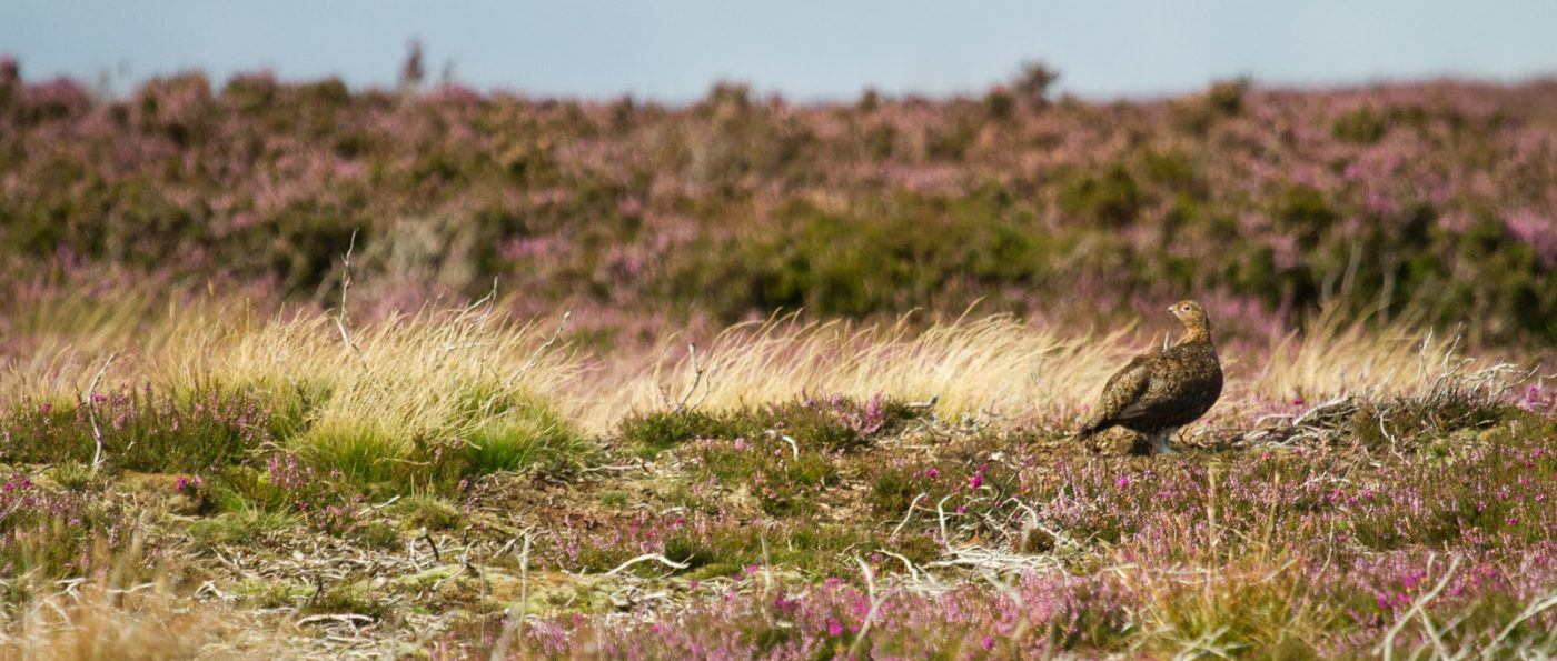 Red Grouse in Heather Moorland, an important part of Park's ecology