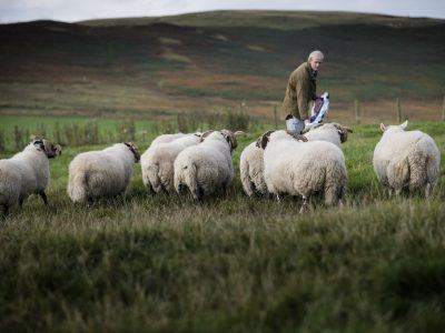 feed sheep at Ingram Farm