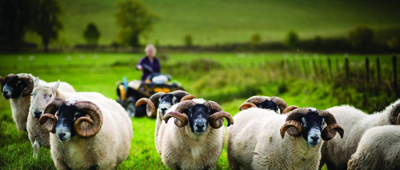 sheep at Ingram Farm