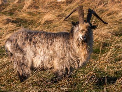 Goat on Yeavering Bell