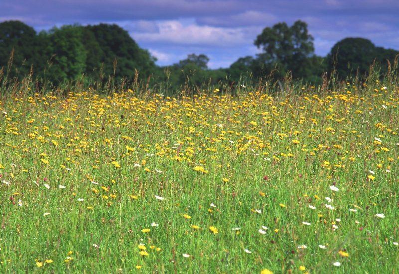 Greenhaugh hay meadows