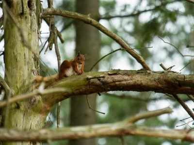 Red Squirrel Simonside Forest