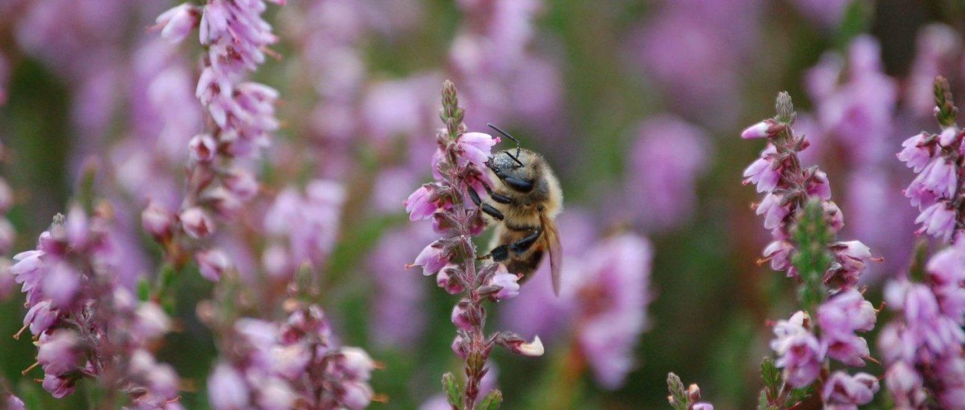 Heather bee