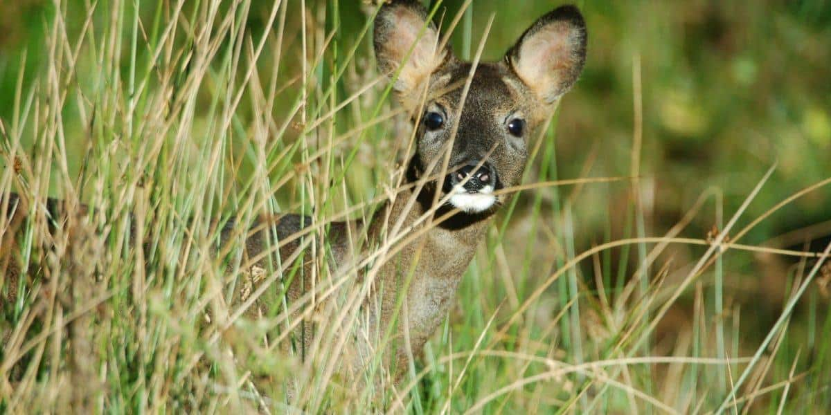 Roe Deer in the National Park