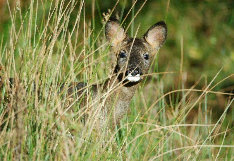 Roe Deer in the National Park
