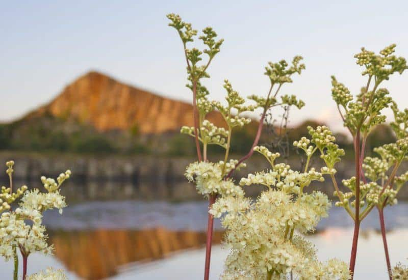Meadowsweet framing Cawfields Quarry on Hadrian's Wall near the town of Haltwhistle, Northumberland