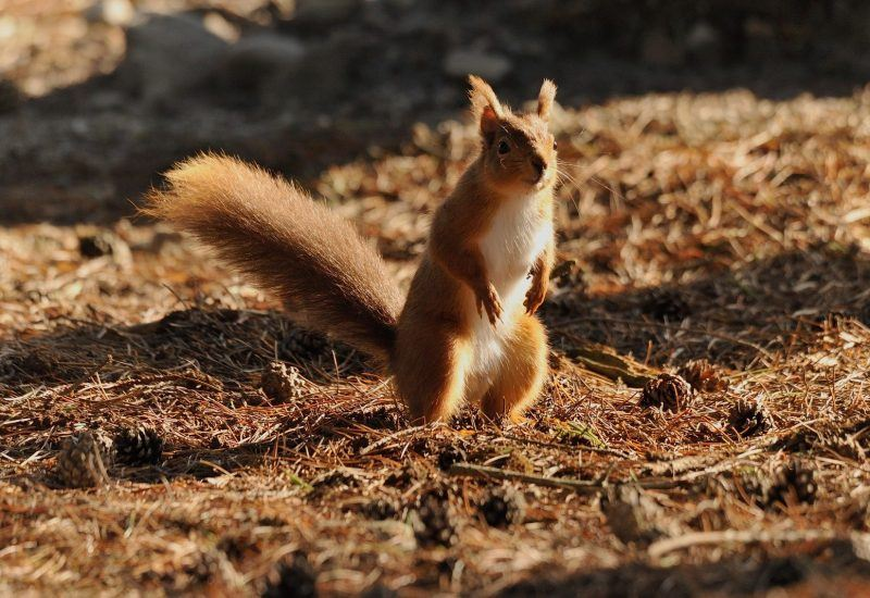Red Squirrels in the National Park