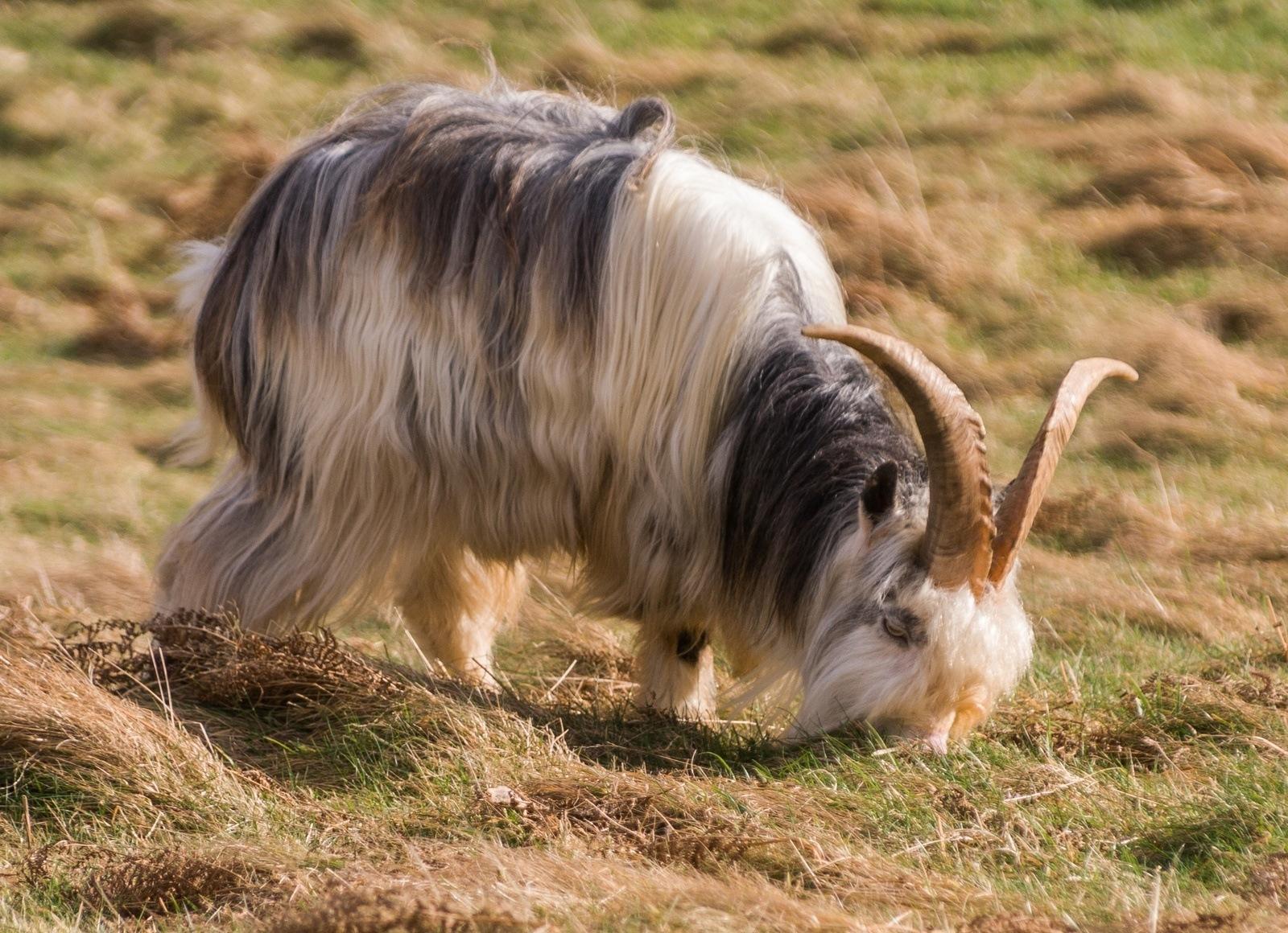 Goats • Northumberland National Park