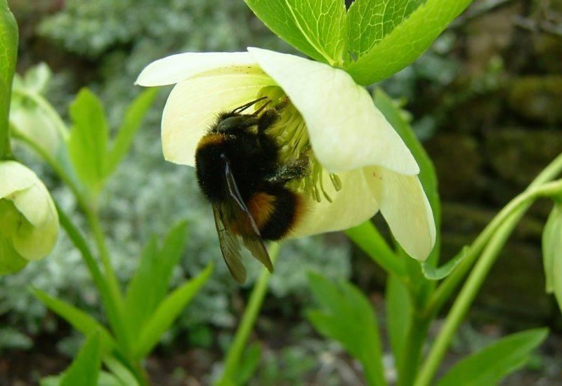 Photo of a hellebore Bumblebee