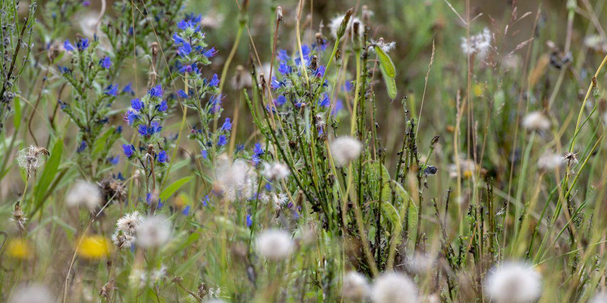 A close up of cotton grass