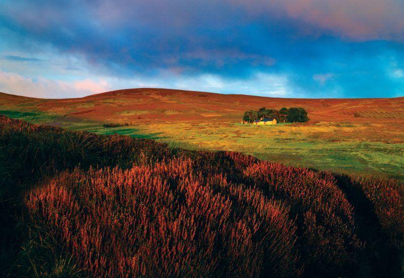 Purple heather in the North Cheviots