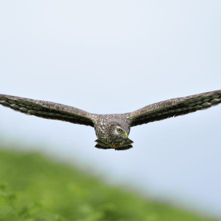 hen harrier by L.Campbell