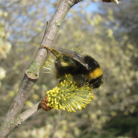 bee collecting pollen on willow