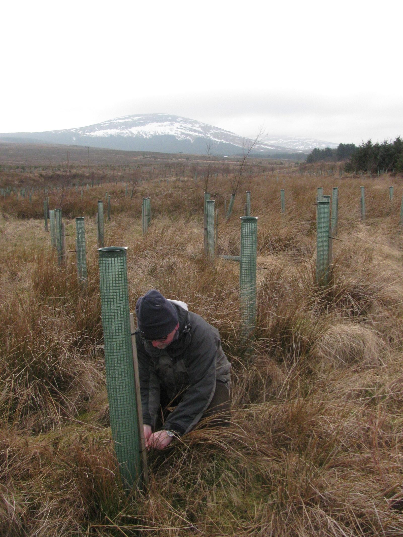 volunteer planting willow