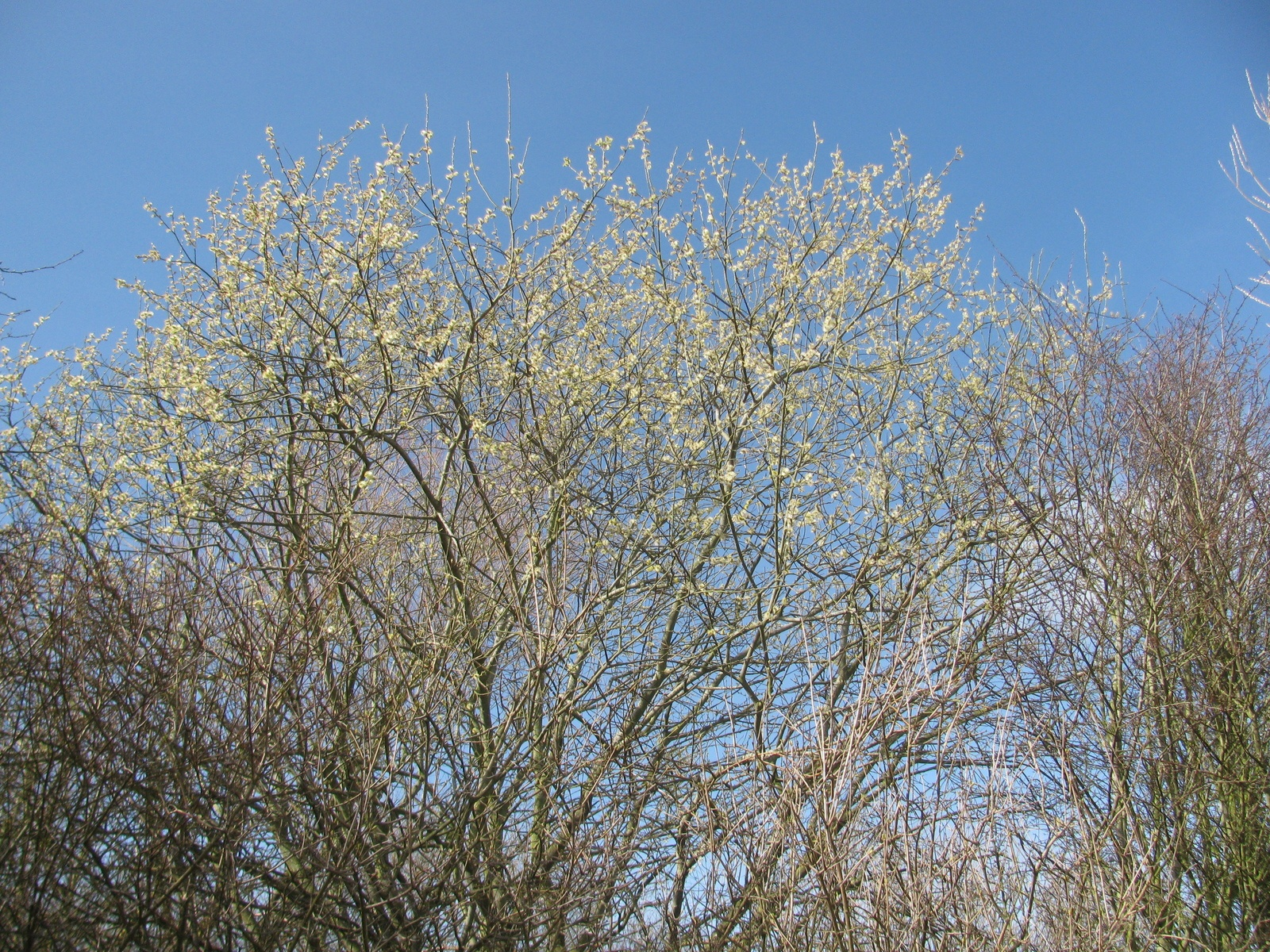 photo of blossoming willow against blue sky