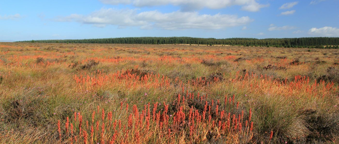 a landscape photo showing bog asphodel growing