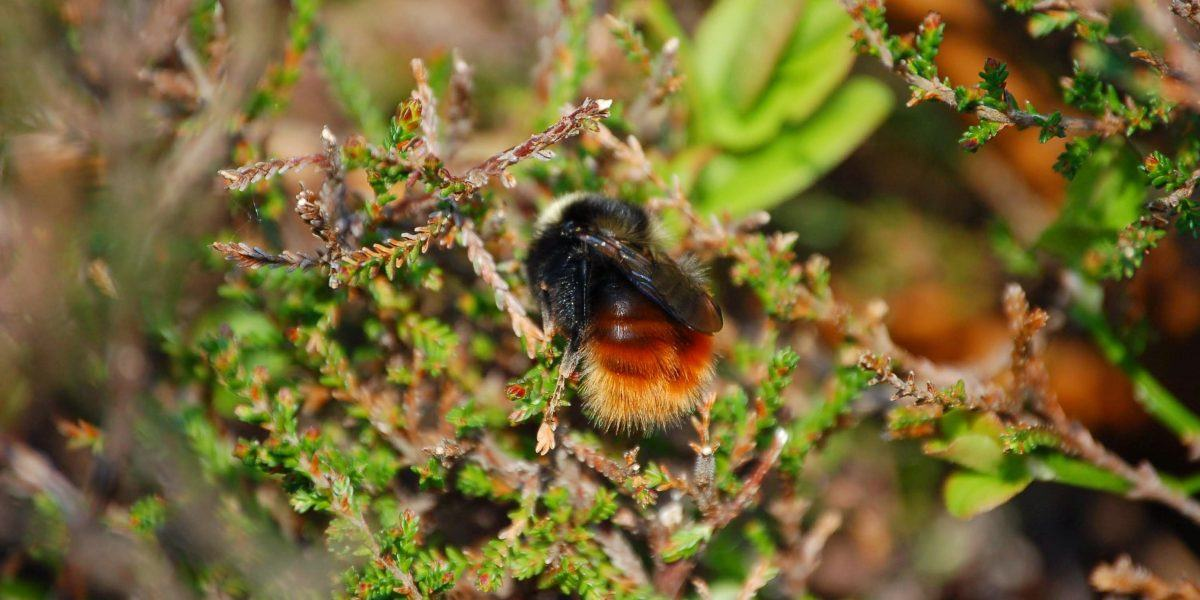 Mountain Bumblebee