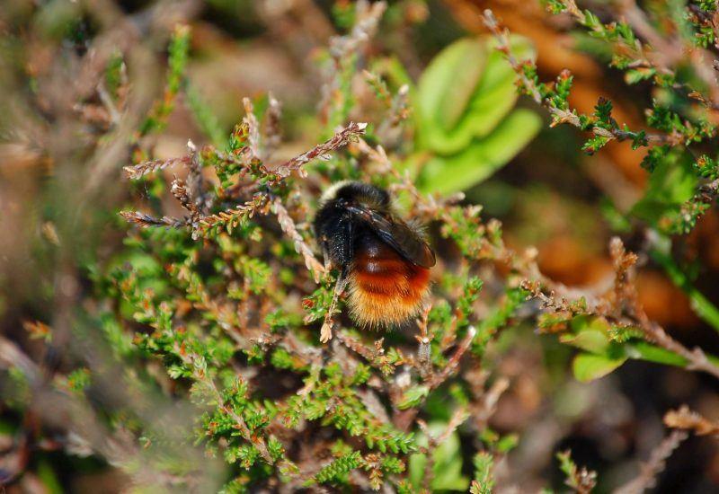A photo of a Mountain Bumblebee