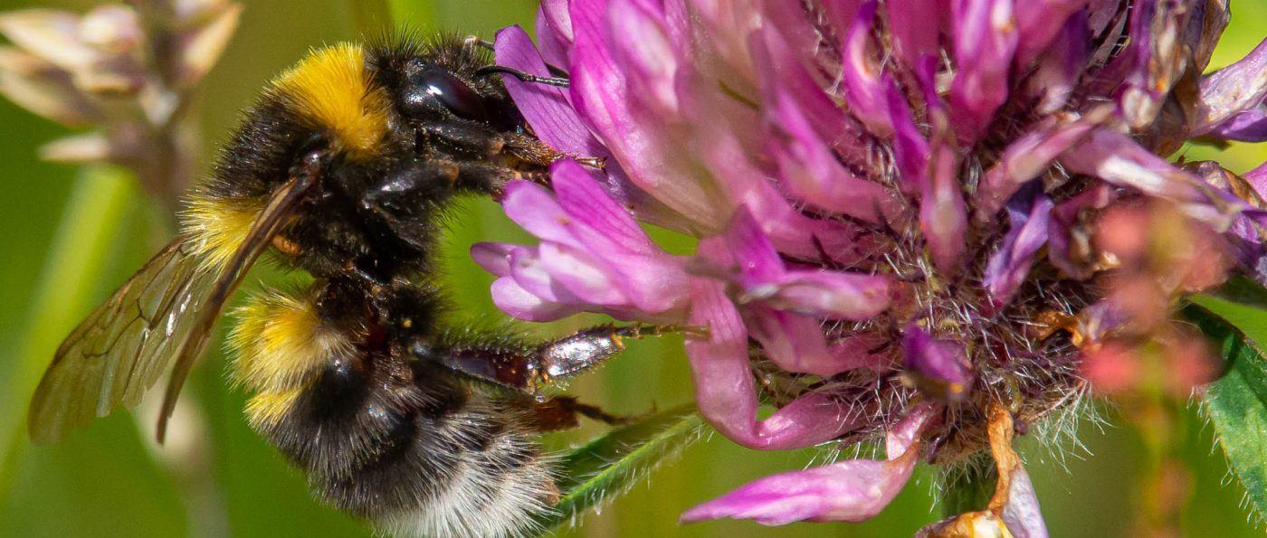 A garden bumblebee on a flower