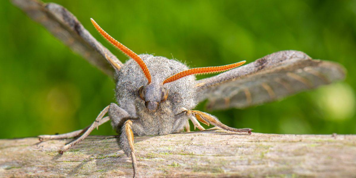 Polar Hawk Moth
