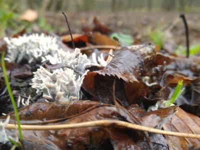 fungi growing on fallen leaves