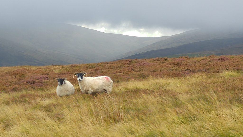 two sheep on heather moorland