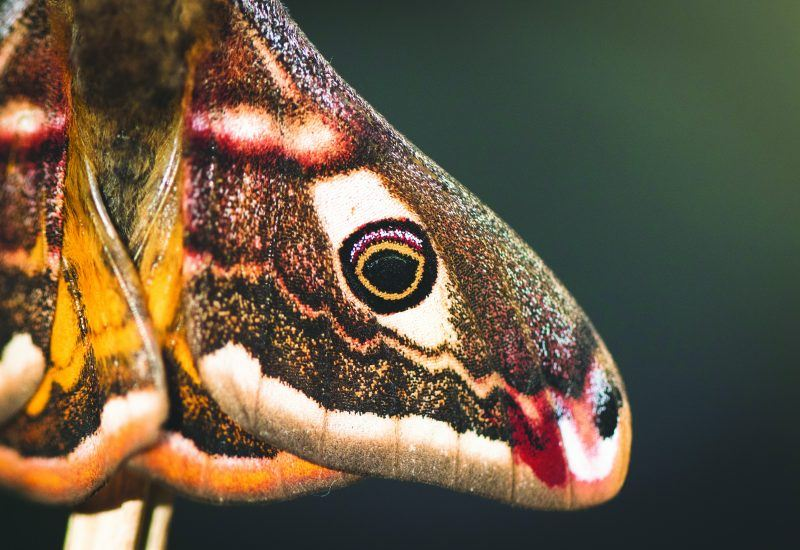 a close up of an Emperor Moth wing