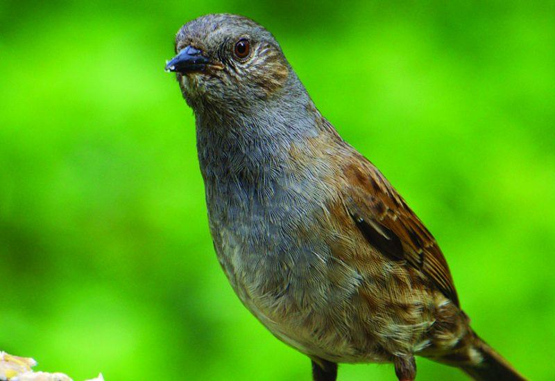 A dunnock - Ian Kirk from Broadstone, Dorset, UK / CC BY (https://creativecommons.org/licenses/by/2.0)