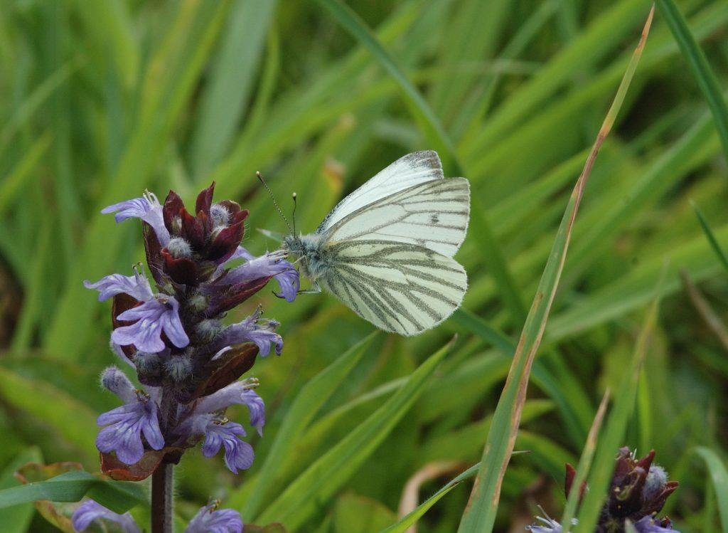 A Green-veined White Butterfly on a purple flower