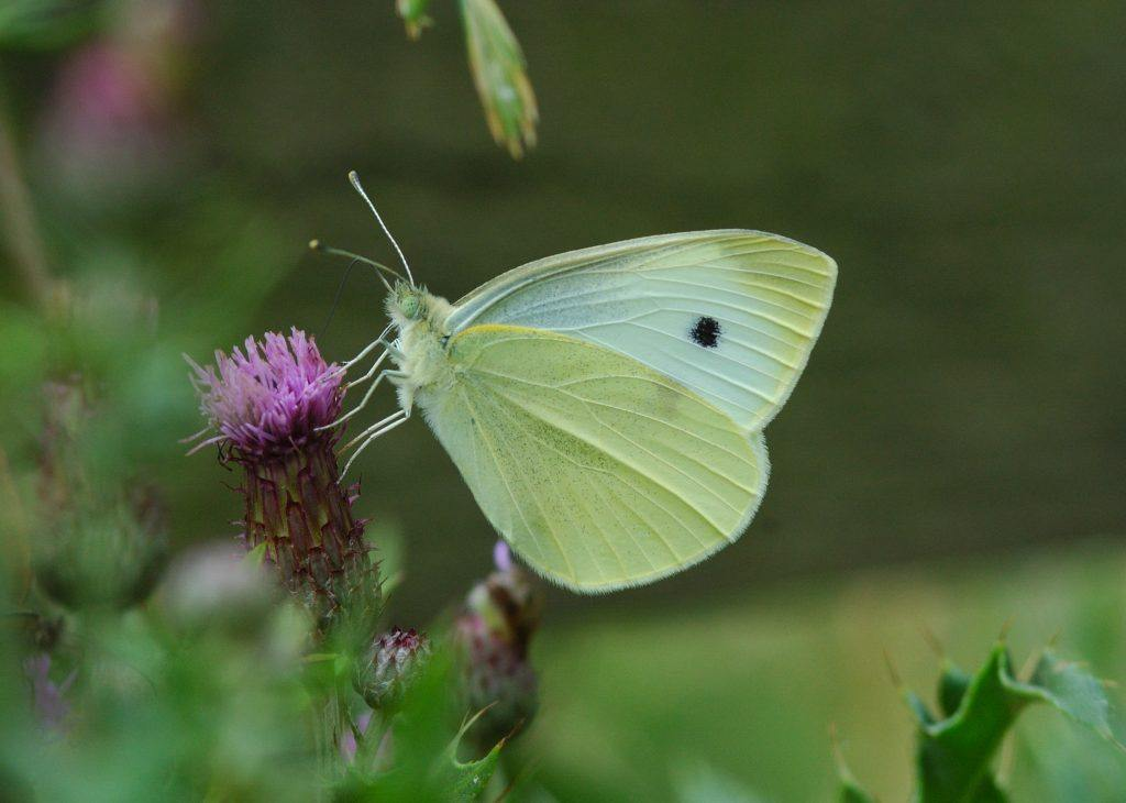 A Small White Butterfly on a purple flower