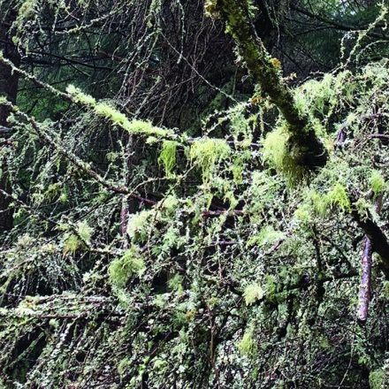 Lichens covering a tree