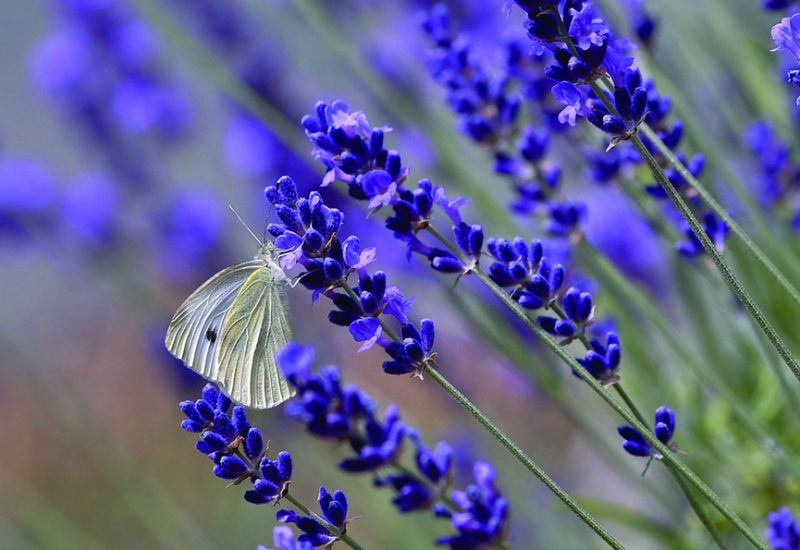 A white butterfly on purple flowers
