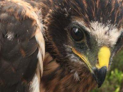 a close up of Hen Harrier