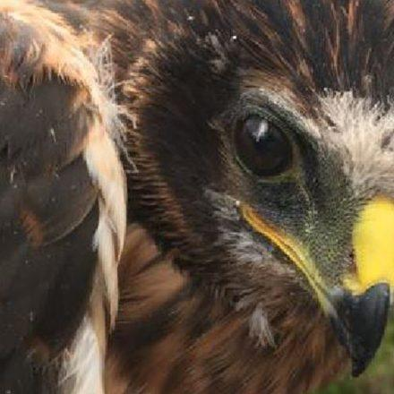 a close up of Hen Harrier