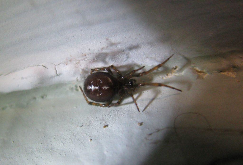 A Comb-Footed Spider