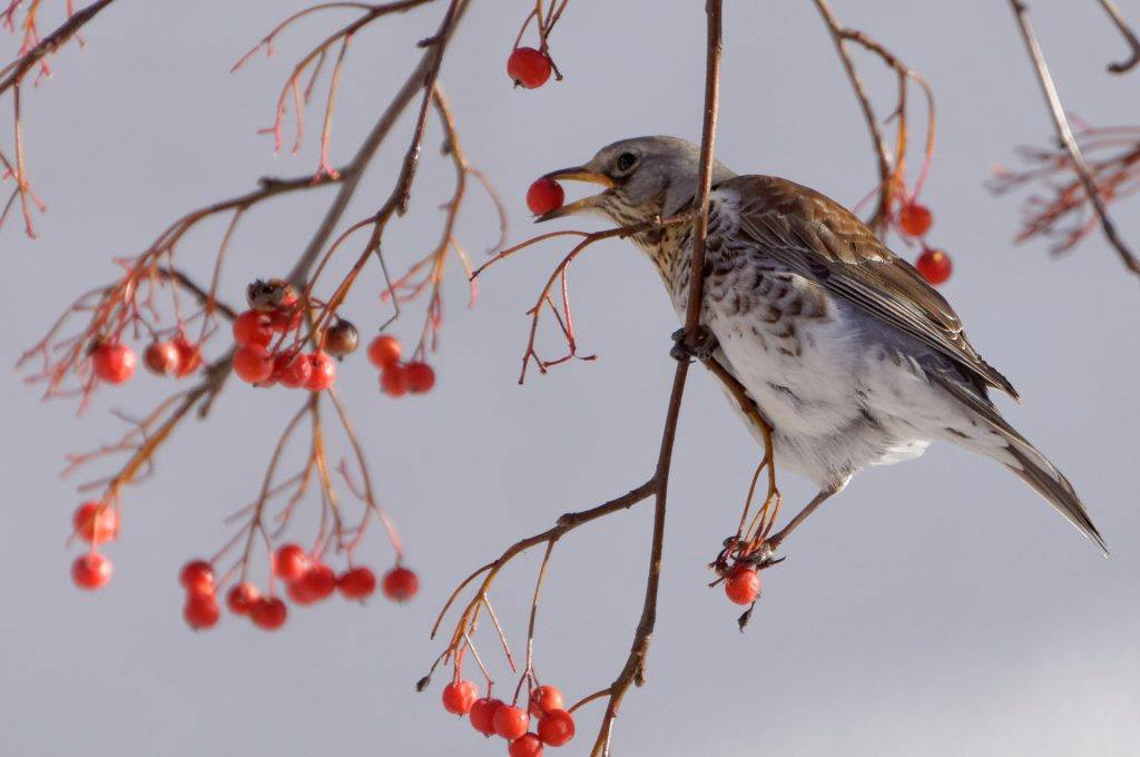 A small Fieldfare eating berries from a bush.