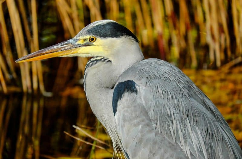 A Grey Heron sat on a water side