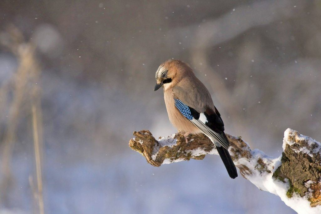 A Jay sitting on a branch