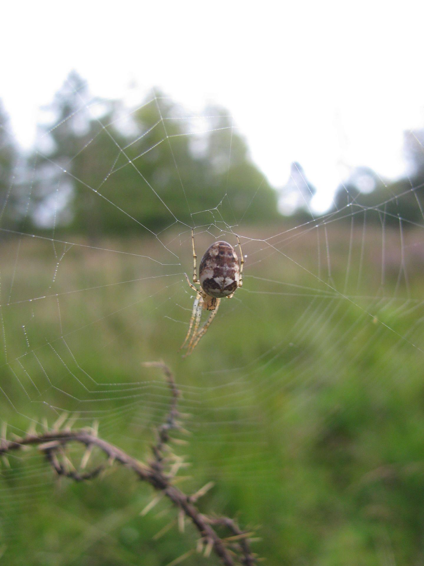 A Lesser Garden Spider