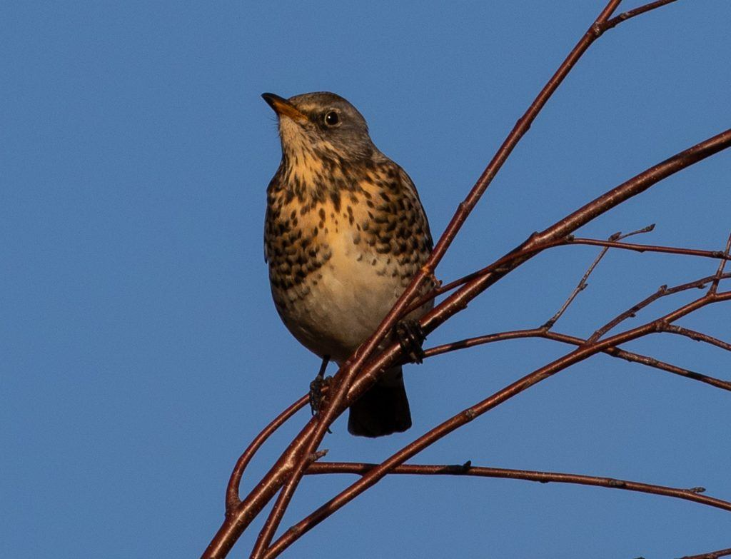 An example of a redwing against a blue sky
