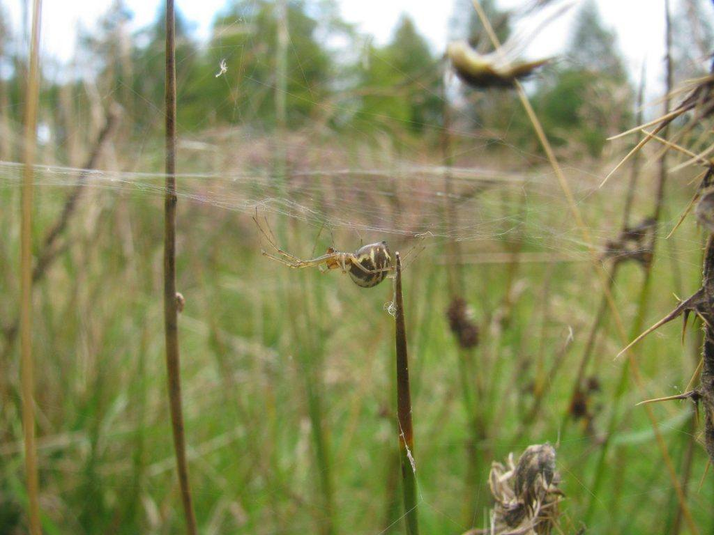 A Sheetweb Spider on a web