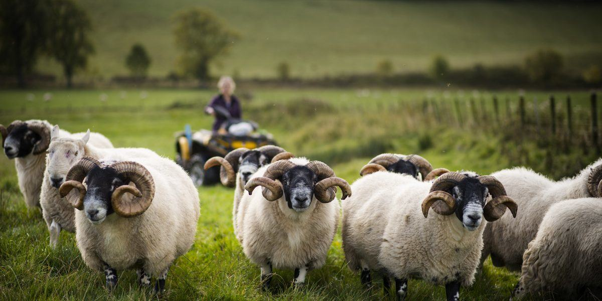 Sheep being farmed in Northumberland National Park at Ingram.