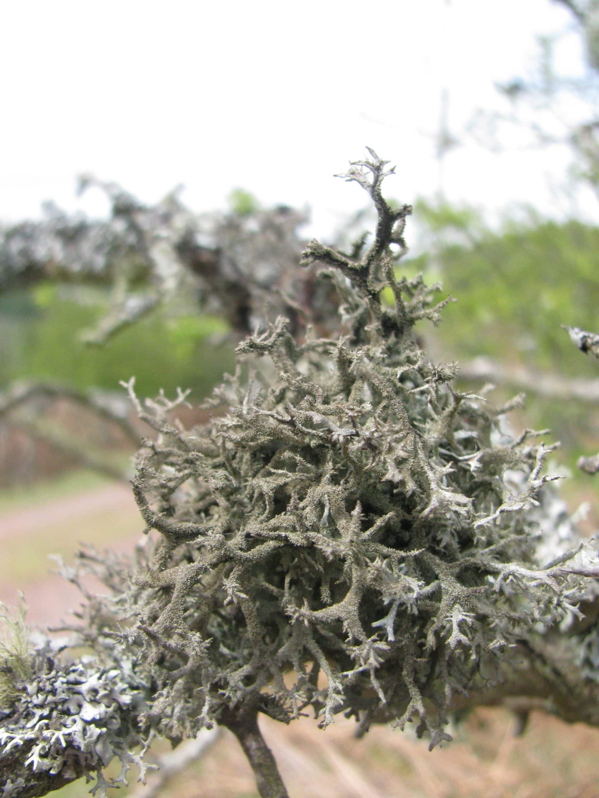 An example of an Antler Lichen foud in Northumberland National Park