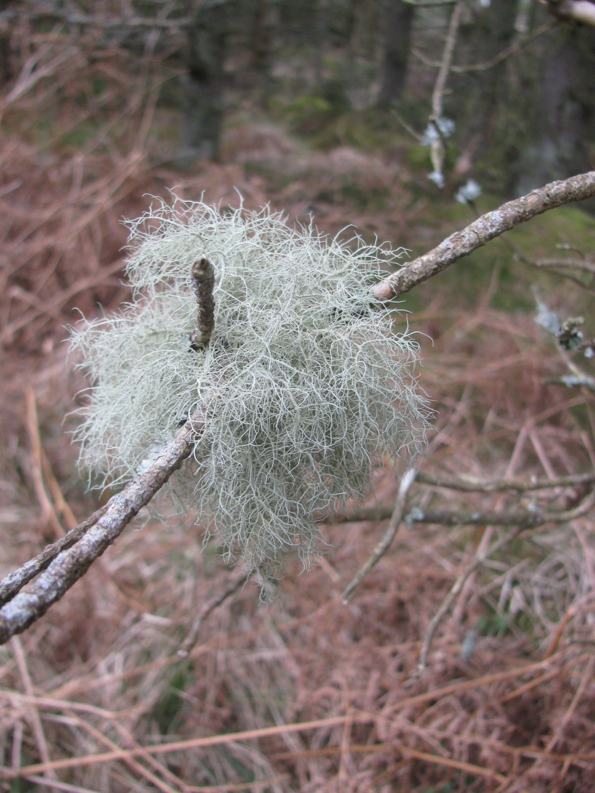 An example of Bearch Lichen found in Northumberland National Park