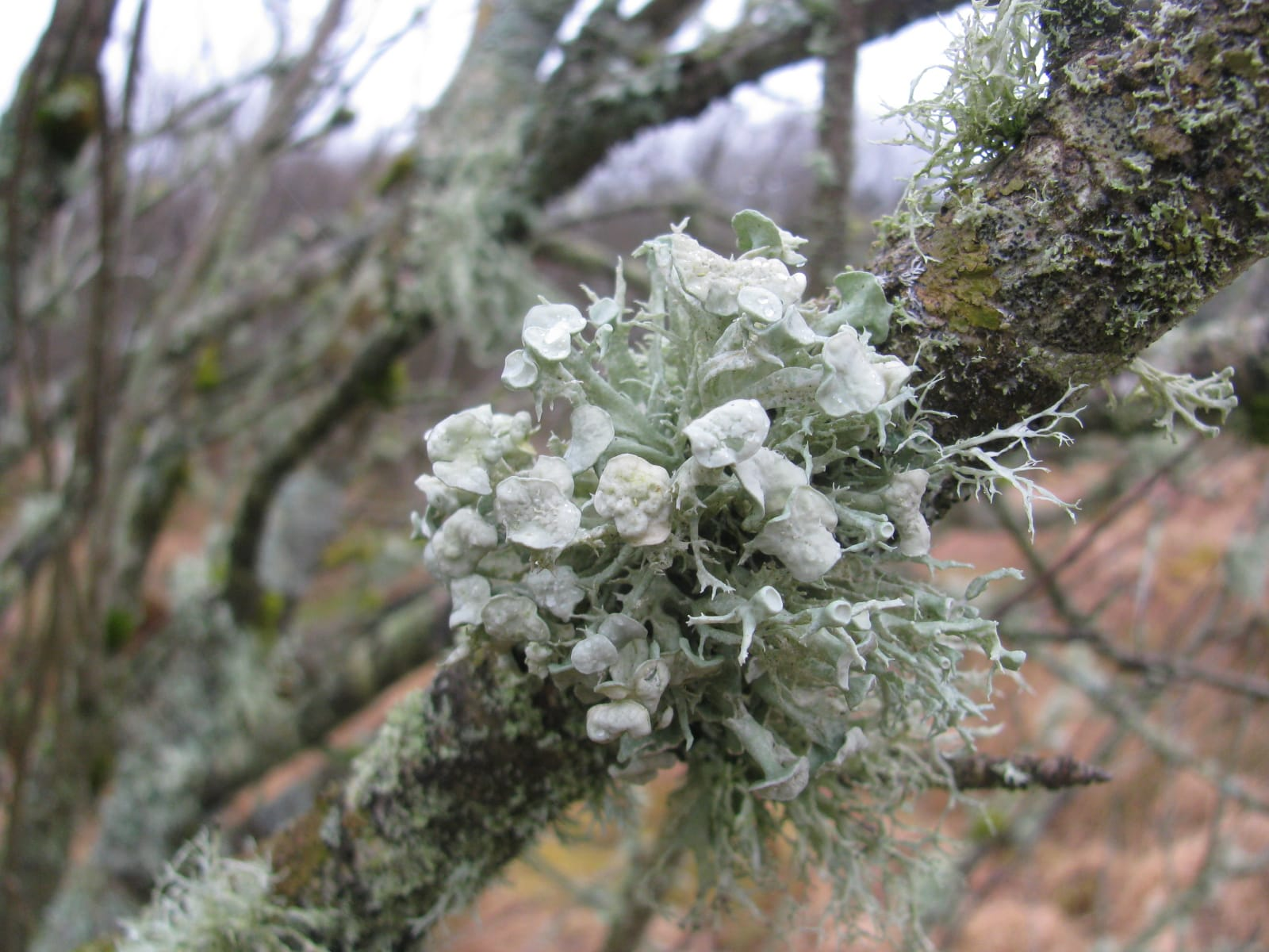 An example of Dotted Ribbon Lichen found in Northumberland National Park