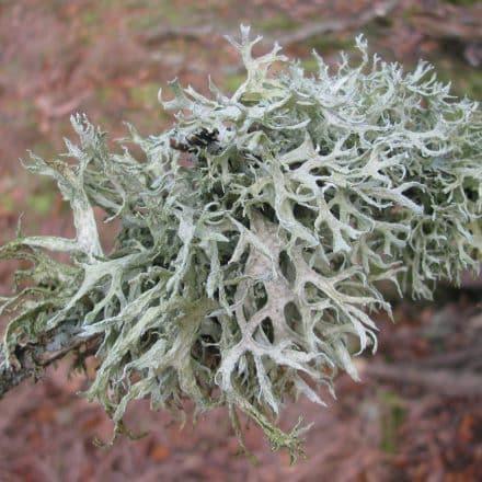 An example of a bushy lichen called Oakmoss