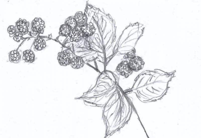 A sketch of a Bramble