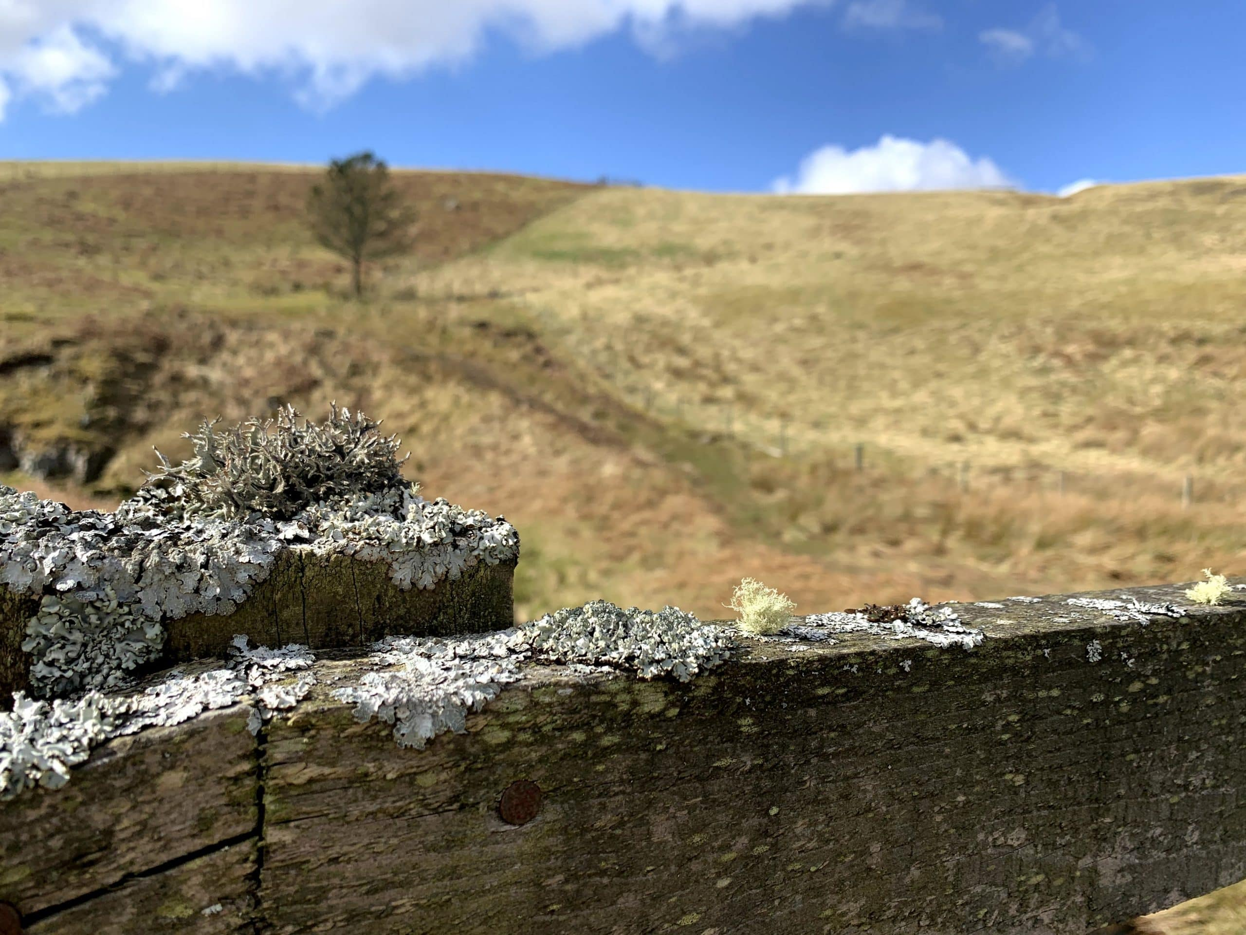 Two different types of lichen on a wooden footbridge set in the rolling hills of Northumberland